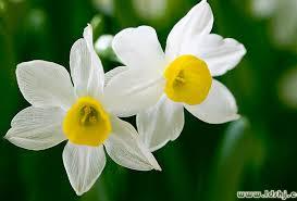 بوییدن گل نرگس درآیینه ی روایات(طب اسلامی)