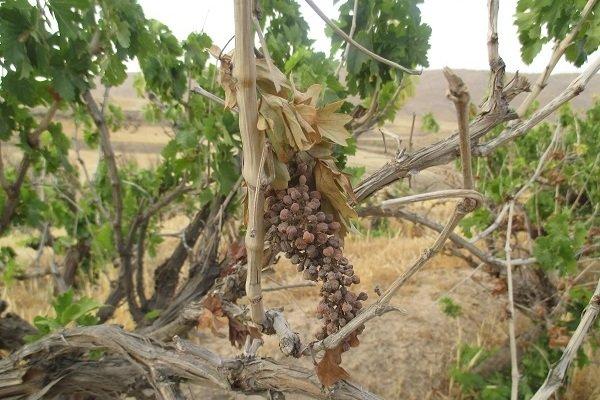 مرگ تاکستانهای نارس/ انگورهایی که «غوره» نشده «مویز» شدند